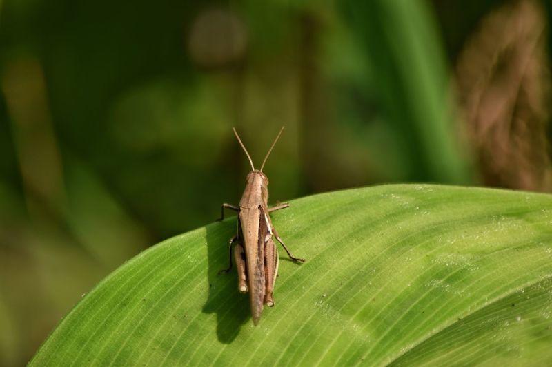 Grasshopper Invertebrate Insect Animal Wildlife Animals In The Wild One Animal Animal Themes Animal