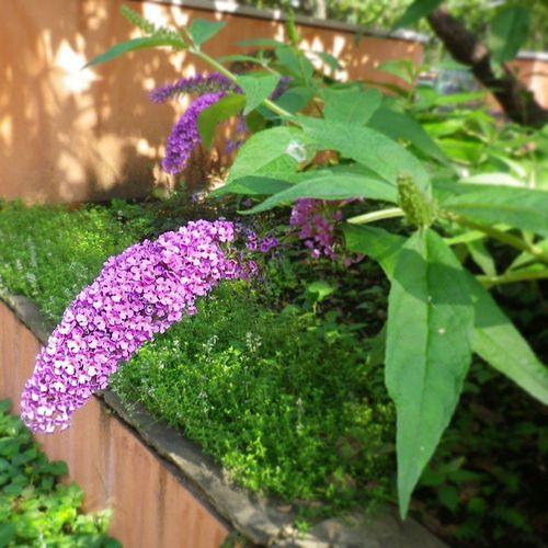 Buddleja Butterflybush ブッドレア ふさふじうつぎ フサフジウツギ 花 flower
