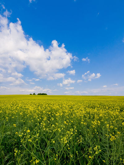 Fields of gold Agriculture Beauty In Nature Crop  Farm Field Fields Green Green Color Growing Growth Italy Landscape Lazio Mirkomacarilandscape Nature Outdoors Relaxing Moments Rural Scene Summer Tranquil Scene Tree Yellow