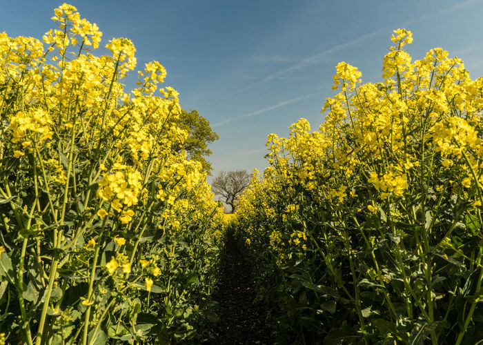 Yellow Plant Growth Flower Flowering Plant Beauty In Nature Freshness Fragility Agriculture Vulnerability  Oilseed Rape Nature Landscape Field Rural Scene Land Day Sky Crop  Mustard Plant No People Springtime Outdoors