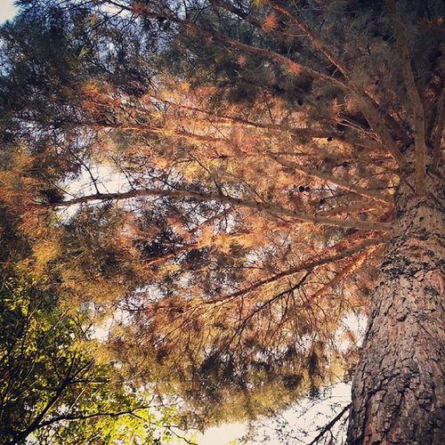 درخت توراهی شهرضا شیراز