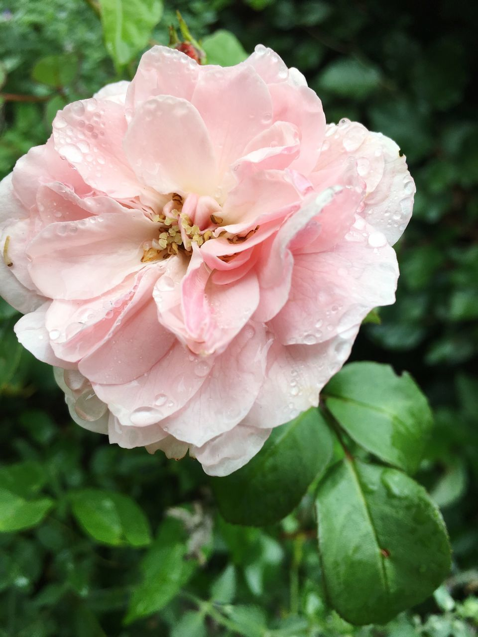 flower, petal, nature, beauty in nature, rose - flower, flower head, fragility, plant, growth, wild rose, drop, close-up, pink color, no people, wet, water, day, outdoors, leaf, blooming, freshness