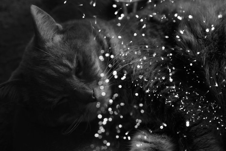 Domestic Mammal Domestic Animals Pets One Animal Animal Animal Themes Cat Domestic Cat Feline Relaxation Vertebrate No People Close-up Indoors  Whisker Resting Sleeping Animal Body Part Selective Focus Animal Head