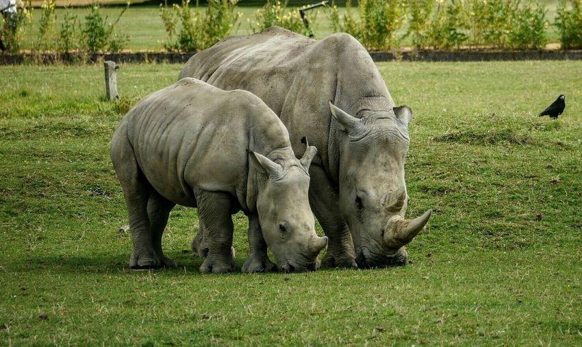 Rhinoceros Grazing On Grassy Field At Cotswold Wildlife Park