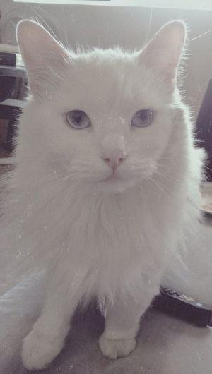 Pets Corner Cat♡ Petlove  whitecat Cats lovecat Lovecats