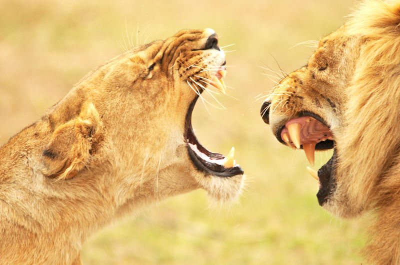 Close-up of female and male lions roaring