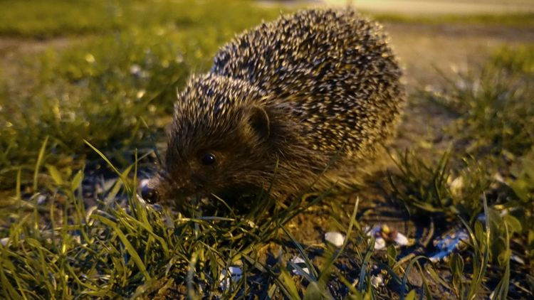 Grass One Animal Nature Animals In The Wild Animal Wildlife Hedgehog Close-up Outdoors No People Animal Themes Night