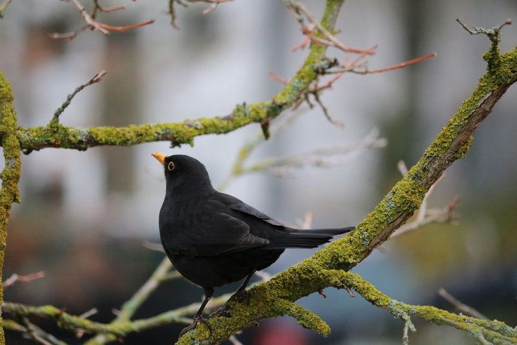 Close-up of blackbird perching on branch of tree