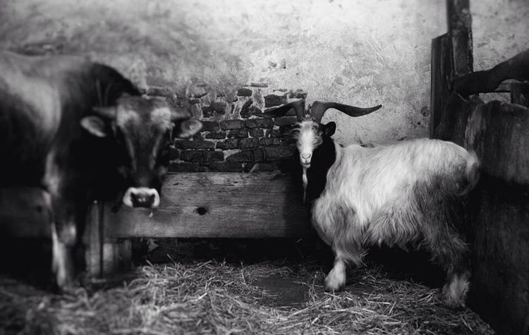 Old Farm Life CAPRA Langa First Eyeem Photo Animals