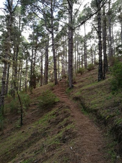 Las Raíces Tenerife Tree Nature Forest Tranquility Beauty In Nature No People
