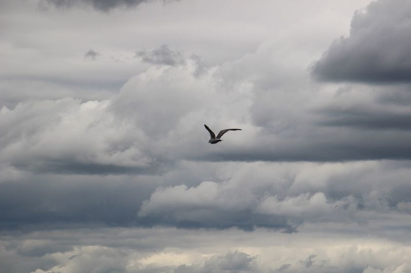 Flying Gull Dramatically Cloudy Sky Low Angle View Spread Wings Storm Cloud Beauty In Nature No People