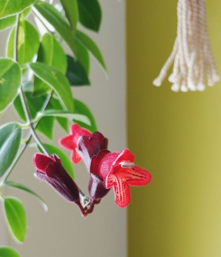 Beauty and fragility Red Plant Flower No People Close-up Nature Leaf Beauty In Nature Indoors  Flower Head