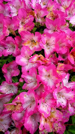 Foggy Bloom 🌸🌸🌸 Takingphotos Flower Showcase: January Pink Photography Explorejapan Japan Hellojapan Japanese  Japaneselife Lifeinjapan Fujiyama Yamanashi Scenery Tourbus EyeEm Best Shots EyeEm Nature Lover EyeEm Gallery Eyeemphotography