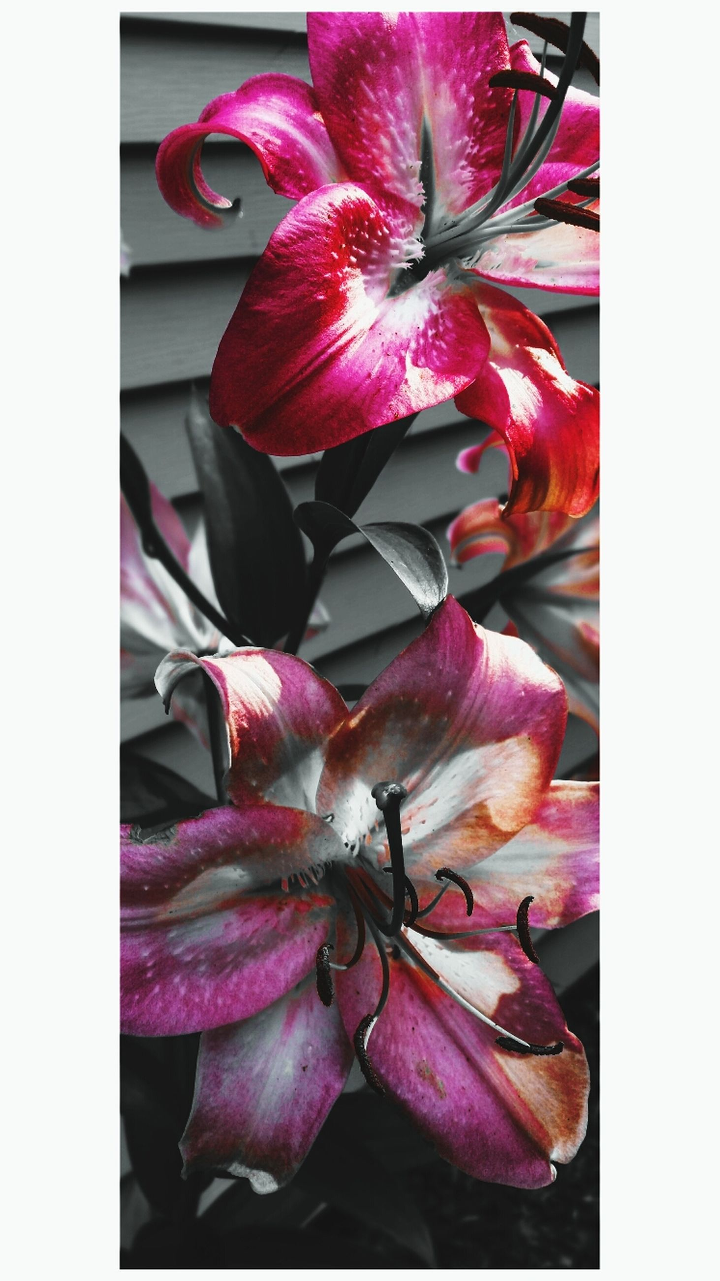 transfer print, flower, auto post production filter, petal, fragility, freshness, pink color, flower head, close-up, beauty in nature, nature, pollen, growth, stamen, indoors, pink, blooming, plant, no people, red