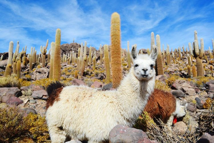 Hello World ✌ Animals Lame Cactus Plant Nature Nature_collection Blue Sky Island Landscape Beautiful Sunny Day Holiday Traveling Eye4photography