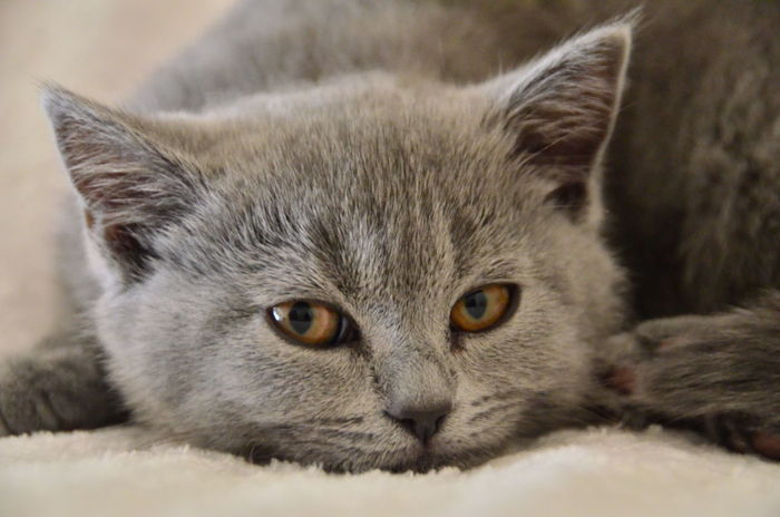 Animal Themes Blue Blue Grey British Shorthair Cat Close-up Day Domestic Animals Domestic Cat Feline Indoors  Kitten Looking At Camera Mammal No People One Animal Pets Playing Portrait W-holly Whisker
