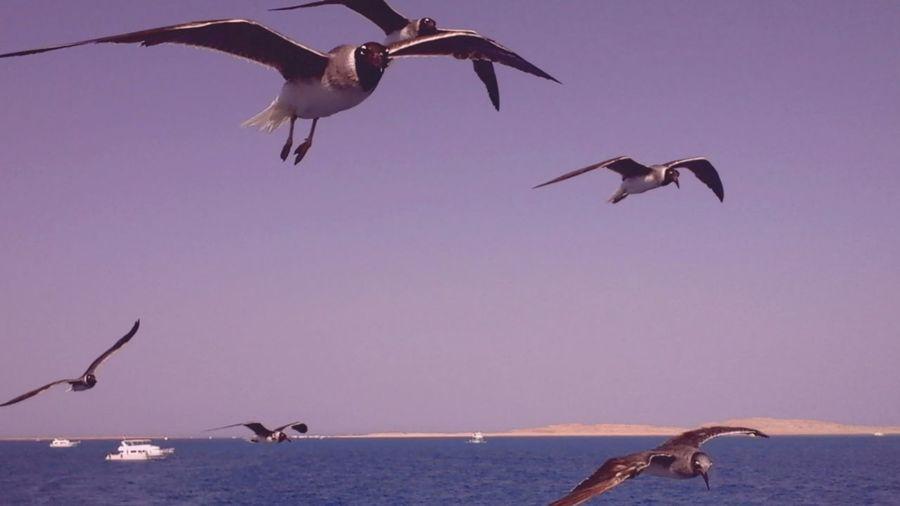 Black-Headed Gulls Flying Over Sea Against Clear Sky