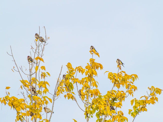 Animals In The Wild Autumn Autumn Colors Goldfinches Nature Animal Themes Animals In The Wild Beauty In Nature Bird Birds Branch Carduelis Carduelis Carduelis Environment Fall Fauna Goldfinch Low Angle View Nature Outdoors Perching Perching Bird Perching On A Branch Wildlife Yellow