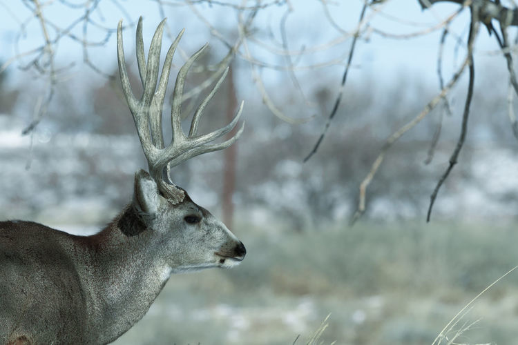 Young male mule deer on a sunny winter day near Denver, Colorado Animal Animal Themes Mammal Focus On Foreground Animal Wildlife Tree Animals In The Wild One Animal Deer Vertebrate Nature Plant No People Day Antler Winter Outdoors Land Herbivorous Animal Head