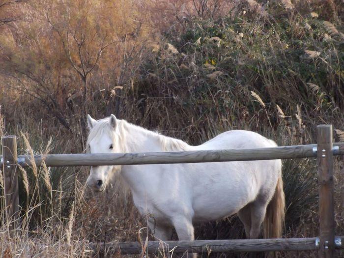 Cavalls Cavalls De La Camarga