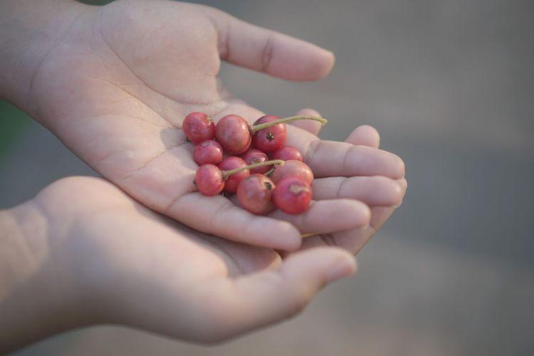 Hand of cherry