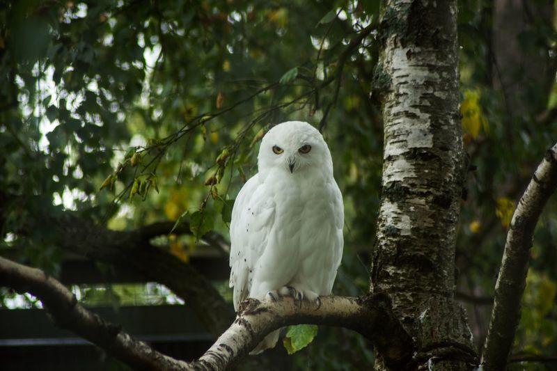 White owl in the zoo Helsinki Owl Zoo Nature Photo Photography Tree Animal First Eyeem Photo