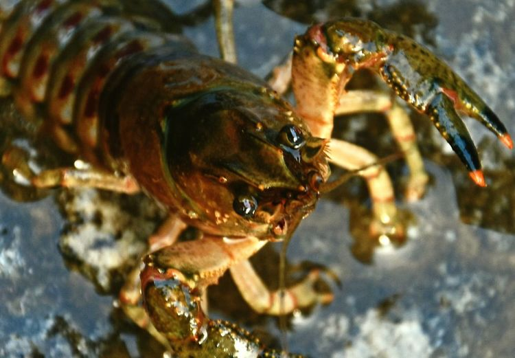 Lobsters Detail Crayfish River Don't Eat Me I'm Alive Dramatic Angles Maximum Closeness