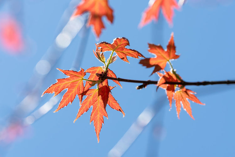 Low angle view of maple leaves against sky
