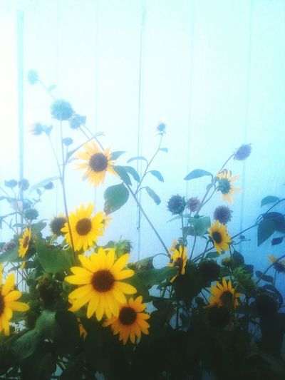 Flower Growth No People Plant Fragility Nature Day Outdoors Close-up Freshness Beauty In Nature Flower Head Paint The Town Yellow