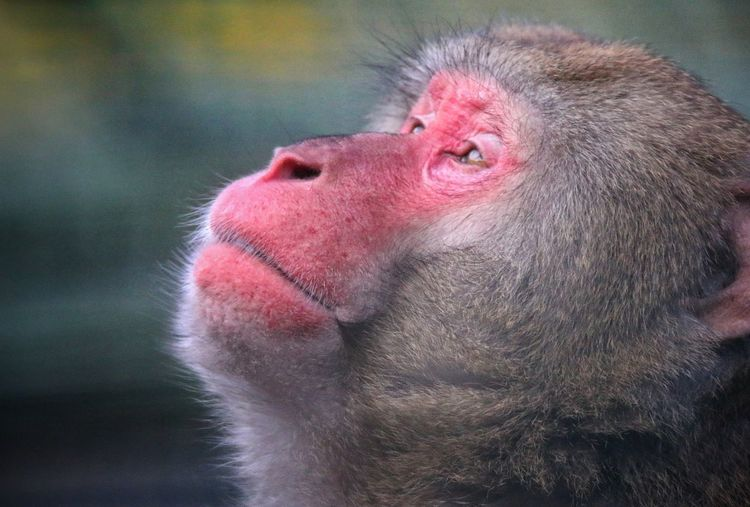 Close-up of monkey looking up