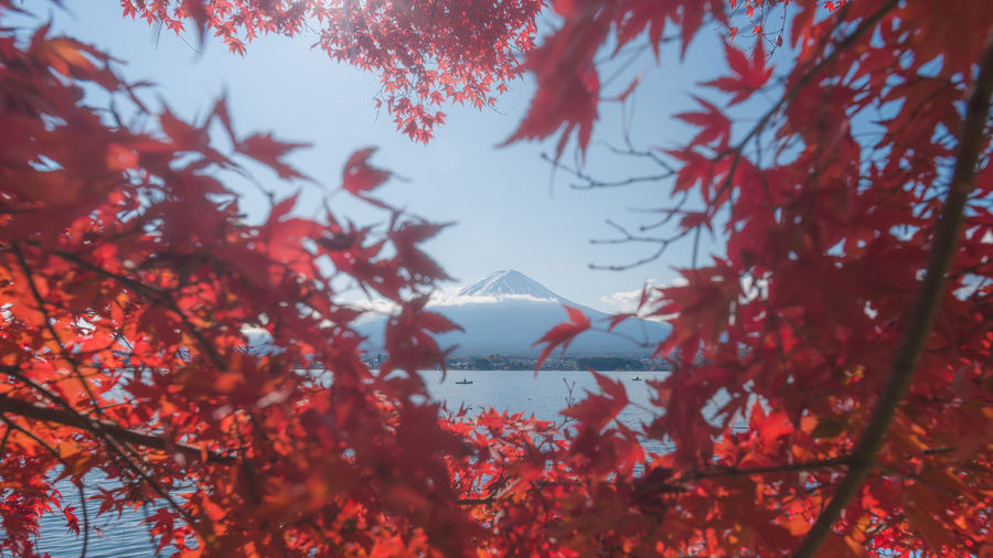 Autumn maple leaves in Kawaguchi lake with Fujiyama mountain in the middle ASIA Fuji Mountain Fujisan Japan Japan Autumn Kawaguchiko Nature Nature Photography Autumn Beauty In Nature Foreground Frame Fuji Fujiyama Lake Kawaguchi Leaf Maple Maple Leaf Maple Leaves Mountain Nature Red Red Maple Tree EyeEmNewHere