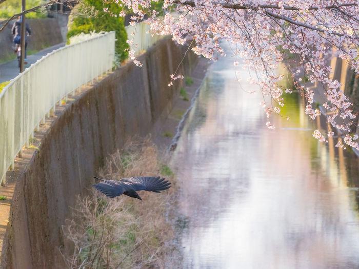Crow hanami