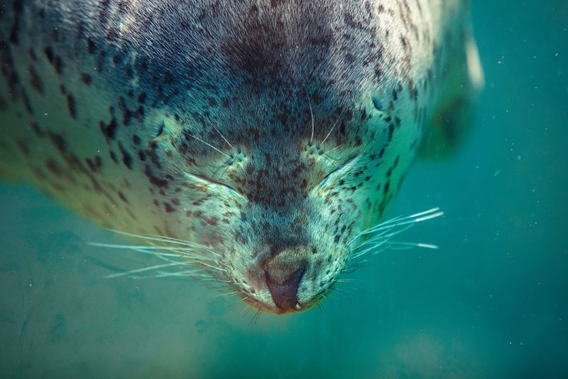 Suma Aqualife Park Aqualife Funny Fun Expression Face Under Water Spotted Seal Seal Aquarium Photography Aquarium Life Aquarium Water Tank Animal Themes Sea Animal Water Underwater UnderSea Swimming One Animal No People Outdoors Close-up Day Animal Mouth