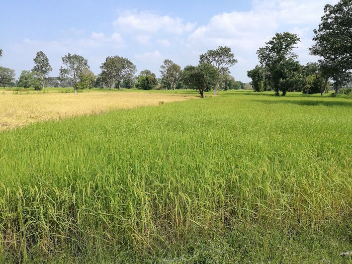 Tree Agriculture Field Crop  Rural Scene Growth Nature Grass Green Color Cloud - Sky Outdoors Day No People Sport Sky Beauty In Nature Cereal Plant Freshness Soccer Field