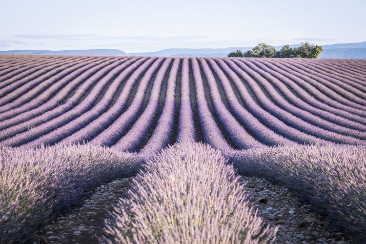 Exterminated lavender fields in provence Fieldscape France Lavender Field Provence Romance Landscape Landscape Photography Lavender Lavender Colored Lavender Flowers Outdoors Purple Valensole Valensole Plateau