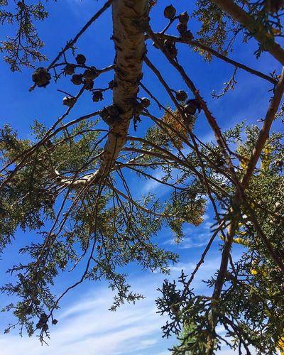 Tree Blue Low