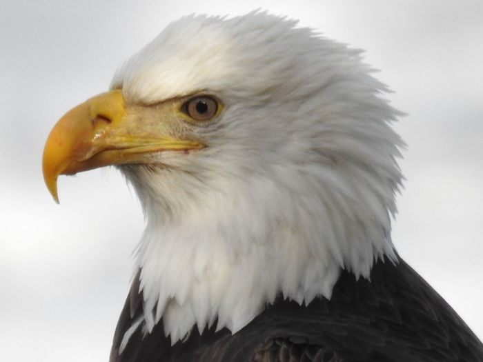 American Eagle Bald Eagle Eagle Bird Of Prey Eagle - Bird Eagle Beak Eagle Closeup Eagle Head Eagle Portrait