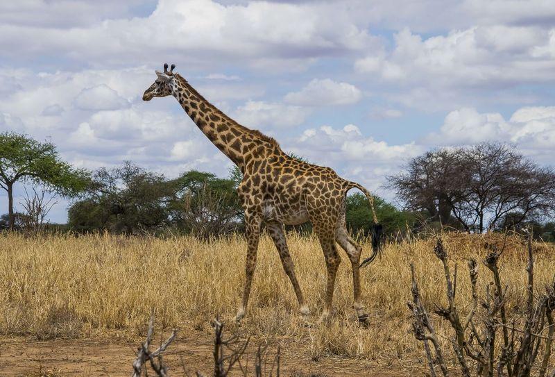 Nature Animal Safari Giraffe Giraffes Outdoors Wildlife Africa Tanzania Animal Photography Safari Park Tarangire Wildlife & Nature Animals In The Wild Tanzanianationalparks Safari Animals Tarangire National Park Animals Wildlife Photography Perspectives On Nature