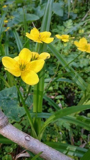 Nature Flower Yellow Marsh Marigold