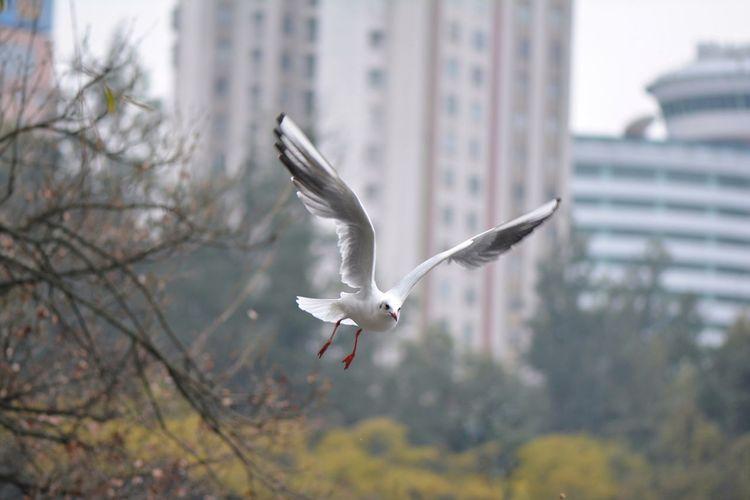 高飞 Black-headed Gull Flying Spread Wings Bird Mid-air Animals In The Wild Animal Wildlife Outdoors Bird Of Prey Animal Themes Nature