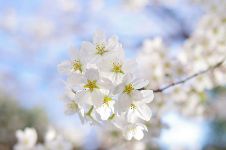 Cherry Blossom Cherry Blossoms Flower Japan Nature Outdoors Sakura Tokyo Tree
