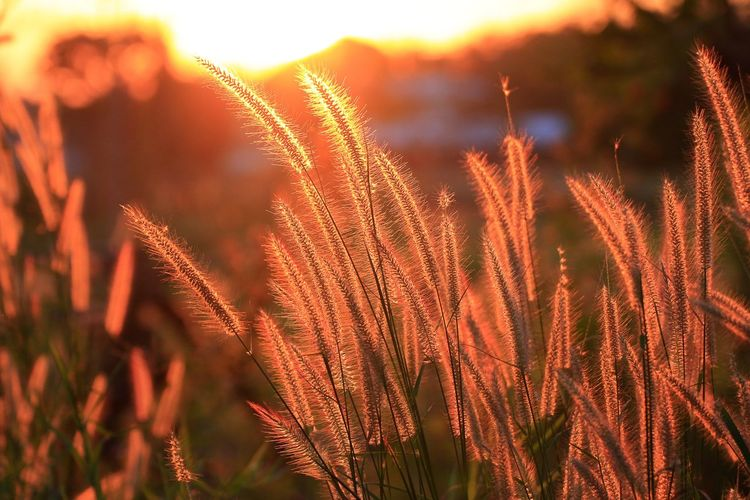 sunset moment Growth Nature Plant Beauty In Nature Field Outdoors Focus On Foreground Tranquility No People Close-up Sunset Day Sky Freshness Flower Grassflower Silhouette