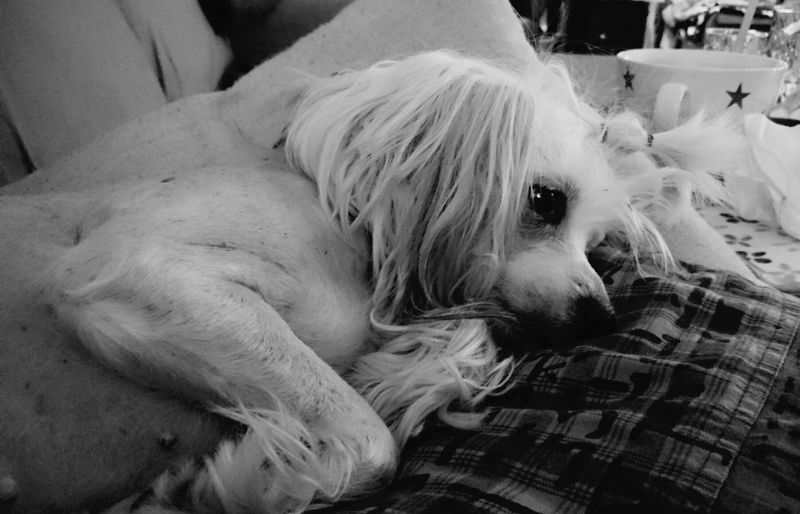 Little Moa 💜 Chinese Crested Chinese Crested Dog Dog Dogs_of_instagram Dogs DogLove Dogs Of EyeEm Relaxing Enjoying Life Lovely Dog My Best Pics My Best Shot Dog Of The Day Dogsofinstagram No People Animal