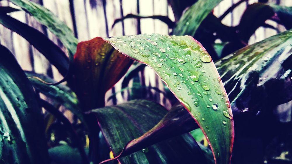 Raindrops Raindrops On Leaves Raindropsphotography Raindrops💧 Raindropshot Leafraindropsshoot Wet Drop Rain Plant RainDrop Water Leaf Nature Freshness