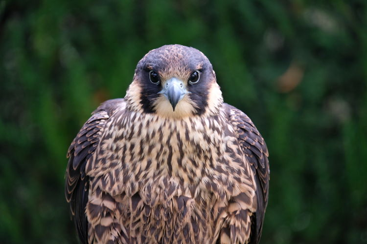 Falco Peregrinus Falcon Falconidae Falconry Animal Animal In The Wild Animal Portrait Animal Themes Animal Wildlife Bird Bird Of Prey Birds_collection Close-up Falcon - Bird Falconry Display Fast Focus On Foreground Hunting Nature One Animal Perching Peregrine Falcon Portrait Wildlife And Nature Wingspan