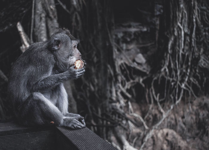 Monkey sitting in a forest and eating