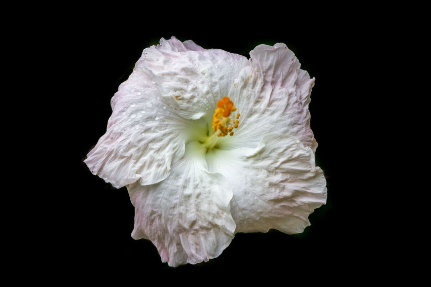 White Hibiscus flower isolated on black background Beautiful Freshness Hawaii HibiscusFlowers Isolated Nature Pink Tropics Background Black Blooming Blooming Flower Blossom Blossoms  Flower Flowers Hibiscus Hibiscus Close-up Petals Pretty Texture Tropical White
