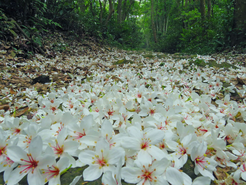 Quiet forest, floating under the white tung flowers, covered with country roads. Country Road Falling Natural Beauty In Nature Blooming Day Falling Flowers Flower Flower Head Forest Fragility Fresh Freshness Growth Nature No People Outdoors Peaceful Plant Plant Flowers Spring Tranquility Tree Tung Blossom White Flowers
