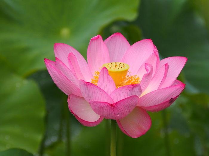 Lotus Lotus Flower 蓮 蓮の花 Kanagawa EyeEm Selects Flower Head Flower Pink Color Multi Colored Petal Springtime Close-up Plant
