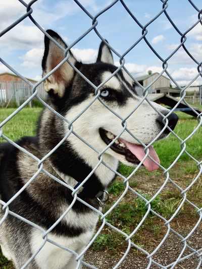 Siberian Husky Fence Boundary Barrier Chainlink Fence Mammal One Animal Security Animal Themes Canine Domestic Animals Pets Animal No People